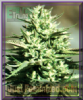 Emerald Triangle California Wildfire Fem 5 Seeds